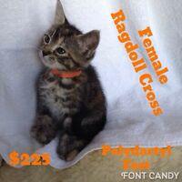 Ragdoll Cross Polydactyl female kitten. Ready to go.