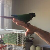 Talking green cheek conure. Look at my new pictures .
