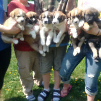 Puppies are ready for new homes - hopefully farm families