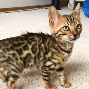 Male Bengal with rosettes 2 months old