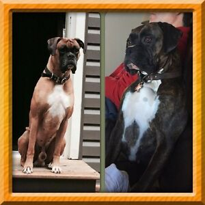 Boxer puppies coming soon !