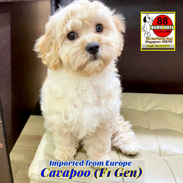 Cavapoo Puppies for Sale 88 Euro Pets