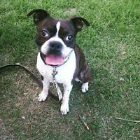 Mr. Lahey - Lost Male Dog - Black and White Boston Terrier