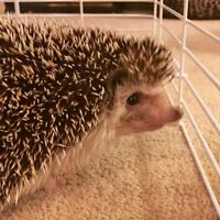 2 year old male hedgehog for sale