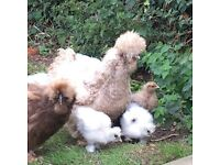 Silkie growers for sale