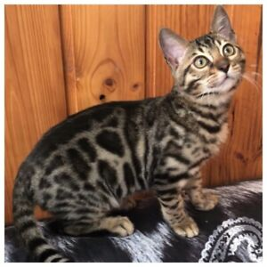 STUNNING  REGISTERED BROWN SPOTTED BENGAL MALE KITTEN