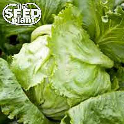 Iceberg Lettuce Seeds - 1000 SEEDS NON-GMO