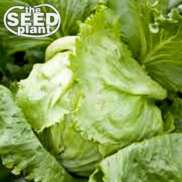 Iceberg Lettuce Seeds - 500 SEEDS NON-GMO