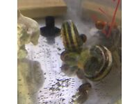 Giant Colombian ramhorn snails