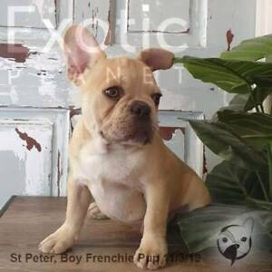 Male Chocolate Red French Bulldog Pup