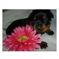 = CKC REG'D PUREBRED ROTTWEILER PUPPIES (MALE & FEMALE AVAIL) =