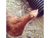 4 pol warren chickens for sale