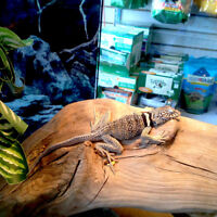 For Sale: Eastern Collared Lizard!