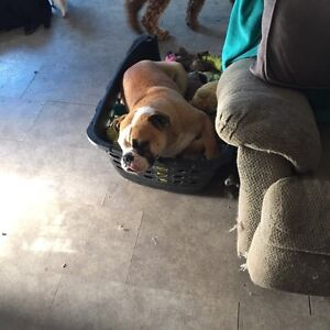 Sweet boy looking for new home ( English bulldog)