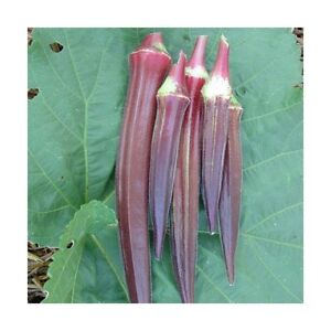 ORGANIC VEGETABLE  OKRA BURGUNDY  75 SEEDS