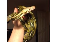 Dwarf Citron Tiger Het Albino Reticulated Python and setup