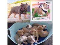 English Bulldog puppies for sale RARE COLOUR