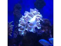 Large cabbage coral on rock, marine tank
