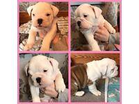 3 Pedigree English Bulldog Girls for sale. ***READY NOW***