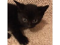 Kittens ready from mon 29th August