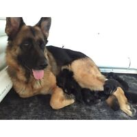 Purebred German Shepherd Pups ONLY  2 FEMALE PUPS LEFT ..