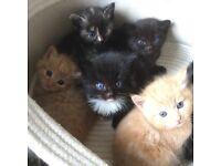 British short hair X Calico kittens