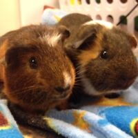 PRICE REDUCED Guinea pig brothers.