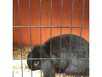 Black rabbit n hutch
