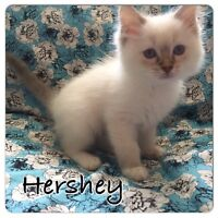 Purebred Ragdoll's Available