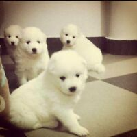 ****SAMOYED PUPPIES BOYS AND GIRLS****