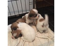 Shih Tzu pups (2 available)