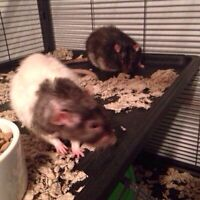 Free rat(white one still available)