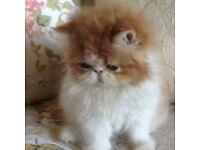 Persian Kitten Now Sold
