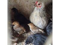 Bantam hen &21 mix chicks £130