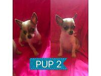 £250.. 2 Beautiful Male Chihuahua Pups