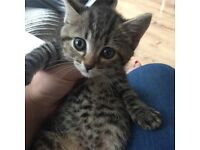 5 gorgeous Bengal cross kittens *ready now*