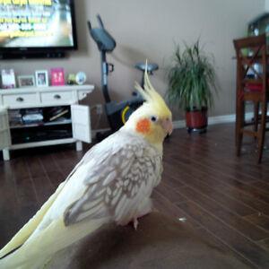 LOST BIRD.  REWARD IF FOUND. Kitchener / Waterloo Kitchener Area image 3