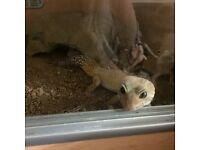 Lots of leopard geckos