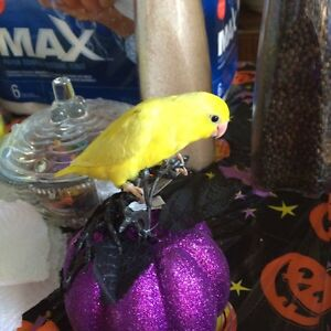 Rare American Yellow Hand fed Parrotlets with Cage and Food