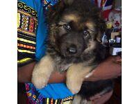 KC REG Female German Shepherd Puppy, ( born22/5/2016)