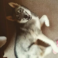 Draco 8 month old Husky mix for adoption