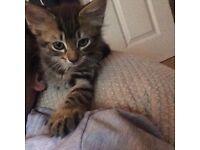 Adorable and loving tabby kitten for forever homes only !