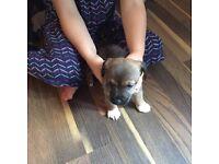 Jack RUSSEL X patterdale pups