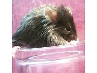 Female fancy mice ready 25/02/17
