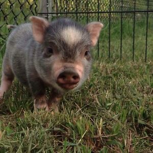 Mini Pet Pigs - Accepting Deposits for 2017 Litters