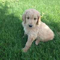Goldendoodle Puppies (Male)