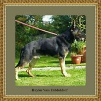 berger Allemand ( chiots ) German Shepherd ( puppies)