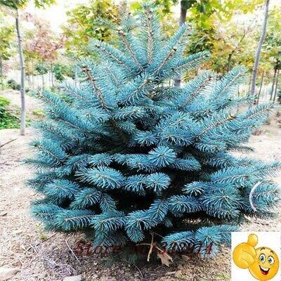 hjkiioz Abeto azul Semillas frescas ecologicas seeds autentica
