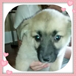 Paws for Love dog rescue has a 11 week  smaller mix for adoption