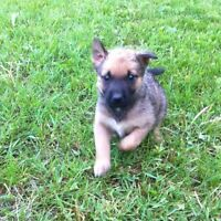 Mixed Breed Puppies for Adoption